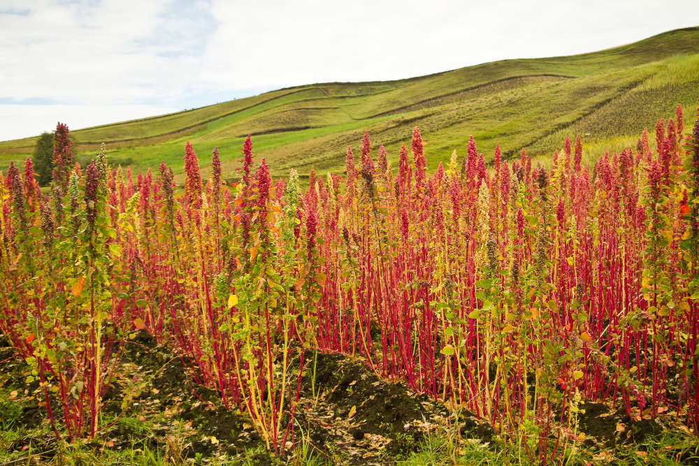 Quinoa plantations in Chimborazo, Ecuador, South America
